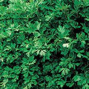 Italian Plain Leaf Parsley Seeds