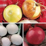 Mild Sweetie Onion Plants
