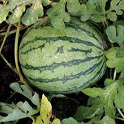 Jenny Hybrid Watermelon Seeds