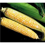 Sweet Temptation Hybrid (SE) Corn Seeds image