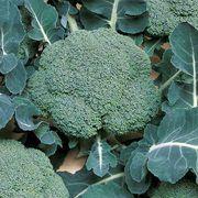 Belstar Hybrid Organic Broccoli Seeds