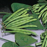 Organic Blue Lake FM-1 Pole Bean Seeds
