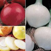Long Day (Northern) Onion Plants Sampler Pack