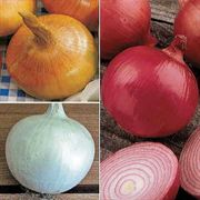 Short Day (Southern) Onion Plants Sampler Pack