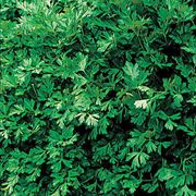 Italian Flat Leaf Organic Parsley Seeds