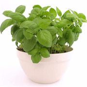 Sweet Green Organic Basil Seeds