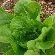 Lobjoits Organic Lettuce Seeds