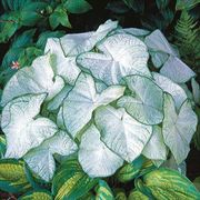 Moonlight Caladium Bulbs - Pack of 5