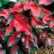 Red Ruffles Caladium Bulbs - Pack of 5
