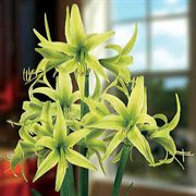 Evergreen Amaryllis