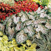 Gingerland Caladium Bulbs - Pack of 5