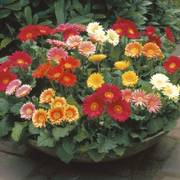 Gerbera Festival Mix (pack of 3)