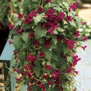 Creeping Gloxinia Lofos™ Wine Red