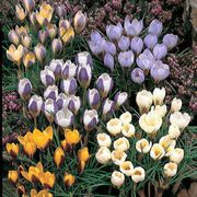 Species Crocus Mix - Pack of 30