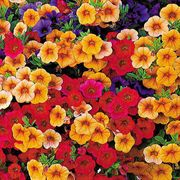 Caribbean Cocktail MiniFamous Calibrachoa Annual Plant Collection