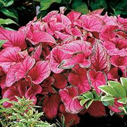 Sweetheart Caladium Bulbs - Pack of 5
