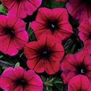 Shock Wave® Purple Plants 6-pack