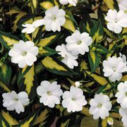 Impatiens Variegated Spreading White SunPatiens® Annual Plant