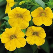 Calibrachoa MiniFamous™ Deep Yellow