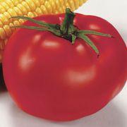 Better Boy Hybrid Tomato Annual Plants - pack of 3