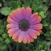 Zion Copper Amethyst African Daisy (pack of 3)