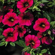 Calibrachoa MiniFamous™ Electric Purple