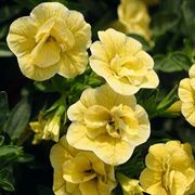 Calibrachoa MiniFamous™ Double Lemon
