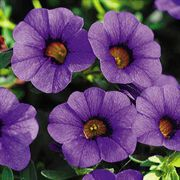 Calibrachoa MiniFamous™ Royal Blue