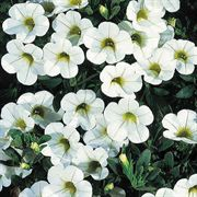 Calibrachoa MiniFamous™ Perfect White