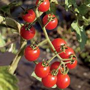 Jasper Hybrid Cherry Tomato Plants - Pack of 6