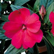 Impatiens Spreading Carmine Red SunPatiens® Annual Plant