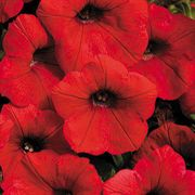 Shock Wave® Red Petunia Annual Plant
