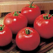 Moneymaker Tomato Plant