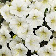 Petunia Shock Wave® Coconut