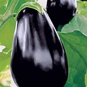 Amadeo Eggplant Hybrid Annual Plants (6 pack)