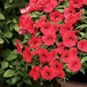 Petunia Surfinia® Deep Red PP#16,803