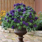 Double Wave Blue Velvet Petunia (pack of 3)