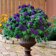 Petunia Double Wave® Blue Velvet image
