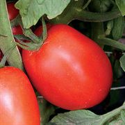 Amish Paste Tomato Grafted Plant
