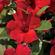 Mandevilla Sun Parasol® Giant Crimson