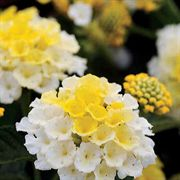 Lantana Lucky Lemon Glow