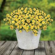 Lemon Slice Superbells ® Calibrachoa Plants