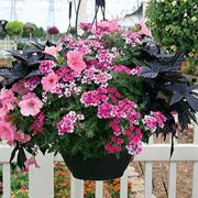 Pink and Ink Annual Plant Combination