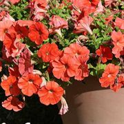 Orange Flash Sweetunia® Petunia Plants