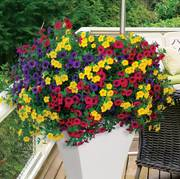 Calibrachoa MiniFamous® Gold and Bold Combination