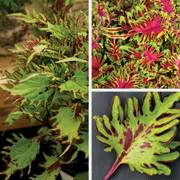 Under the Sea Coleus Annual Plant Combination