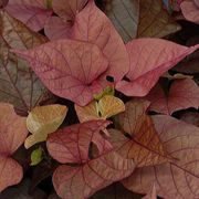 Mardi Gras Sweet Potato Vine Annual Plants
