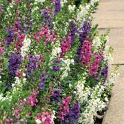 Serenita Angelonia Annual Plant Combination