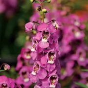Raspberry Serenita Angelonia Plants