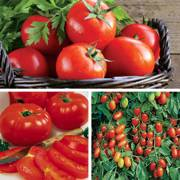 Favorite Grafted Tomato Trio Annual Plant Collection